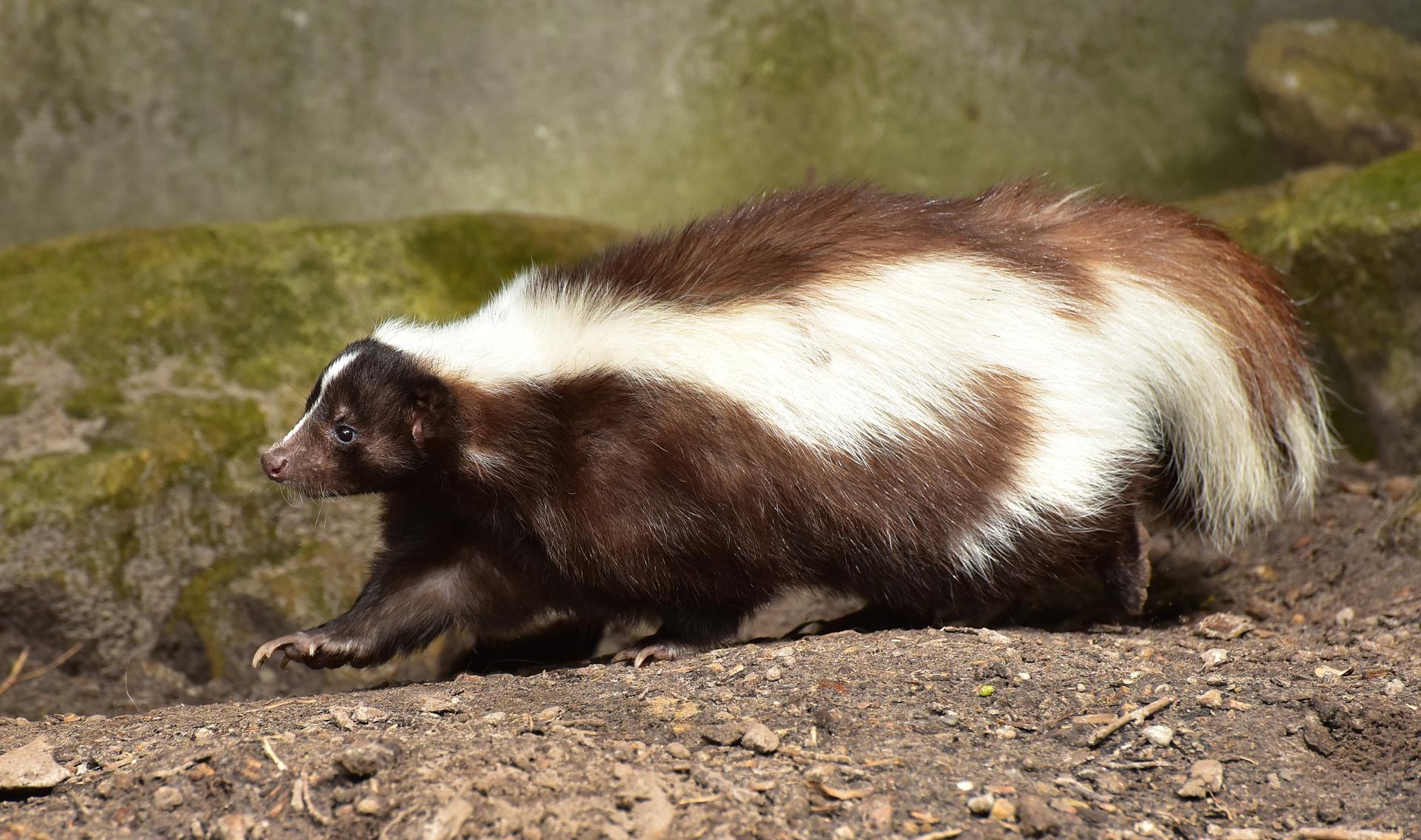skunk-853083_1920